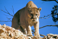 Mountain lions can eat whatever is available to survive. While they most  commonly eat medium to large game aa1ac4b9e5c